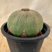 8、Euphorbia シンメトリカ