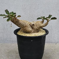 120、Euphorbia SP・NOV 'フィッシュボーン'