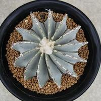 50、Geohintonia mexicana(接木)