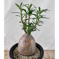 65、Pachypodium succlentum