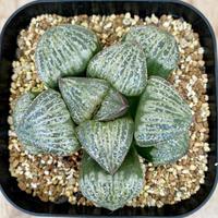 157、Haworthia 巨大ダルマスプレンデンス
