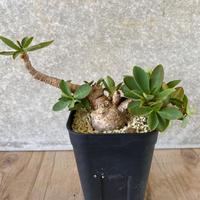 157、Euphorbia itremensis