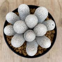 48、Mammillaria 白鷺