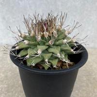 134、Turbinicarpus alonsoi(実生)