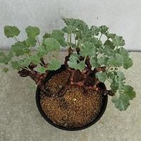 94、Pelargonium ミラビレ