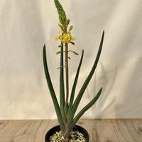 71、Bulbine sedifolia,Leeupoort