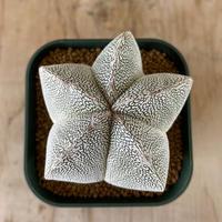17、Astrophytum  恩塚ランポー(実)