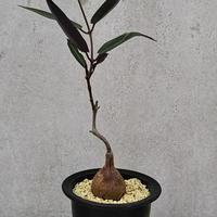 8、Petopentia natalensis