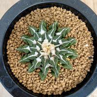 31、Ariocarpus 黒牡丹(実)