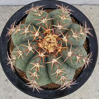 31、Echinocactus 花王丸(実)