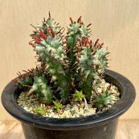 146、Euphorbia ストリアータ・モンスト