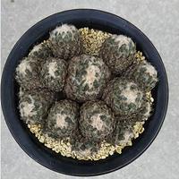18、Pelecyphora 銀牡丹