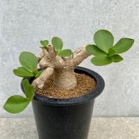 132、Euphorbia quartzicola