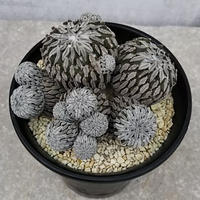 4、Pelecyphora 精巧丸