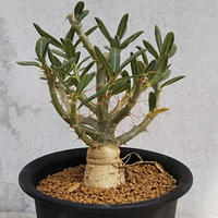 53、Pachypodium bispinosum