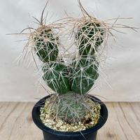89、Tephrocactus alexanderi albispinus