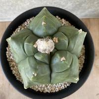 15、Astrophytum  亀甲ヘキラン