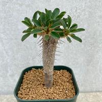 135、Euphorbia guillauminiana
