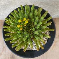 14、Euphorbia 孔雀丸