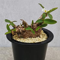 13、Euphorbia itremensis