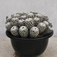 16、Turbinicarpus バラ丸