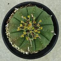 7、Euphorbia valida