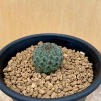 136、Sulcorebutia 黄花グリーンラウシー