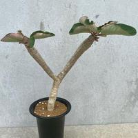 71、Euphorbia ankarensis