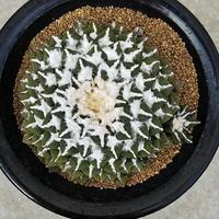 30、Ariocarpus 大疣黒牡丹