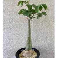 155、Adenia glauca