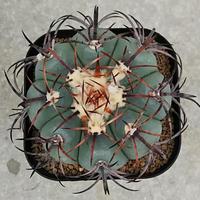 42、Echinocactus 花王丸