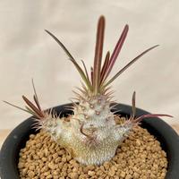 35、Pachypodium グラキリス(実)