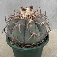 41、Echinocactus 花王丸