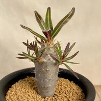 124、Pachypodium rosulatum var.cactipes