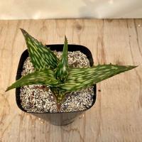 70、Aloe ソマリエンシス