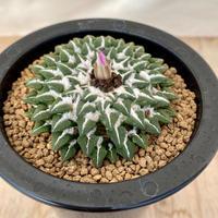 150、Ariocarpus 黒牡丹(実)