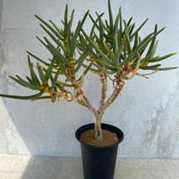 149、Aloe ramosissima