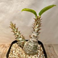 139、Pachypodium ウィンゾリー(実)