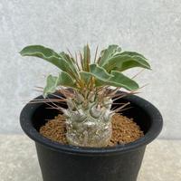 127、Pachypodium namaquanum(光堂)