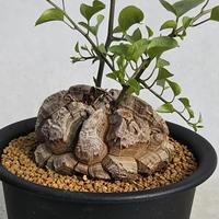 64、Dioscorea 亀甲竜