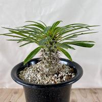 62、Pachypodium lamerei(v)ramosum