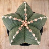 3、Astrophytum 雪陵ヘキラン