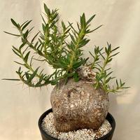 73、Pachypodium ビスピノーサム