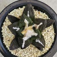 123、Ariocarpus 亀甲牡丹