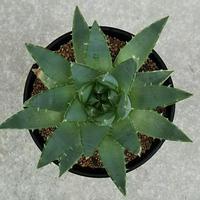 117、Aloe polyphylla