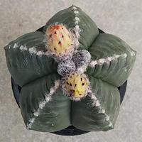 121、Astrophytum 雪陵ヘキラン
