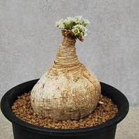 1、Euphorbia primulifolia
