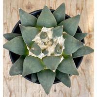 109、Ariocarpus 花牡丹(実)