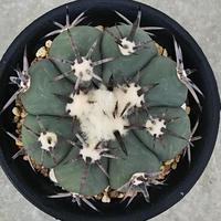 33、Echinocactus 太短刺雷帝(実)