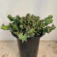 170、Euphorbia グローエネワルディ